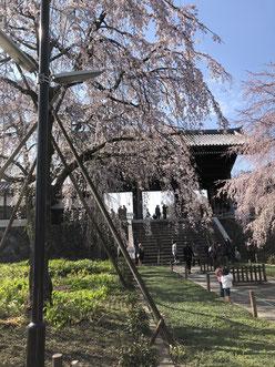 東郷時の枝垂れ桜