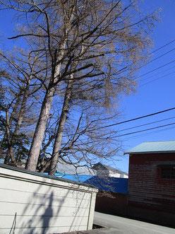 写真の右側、上から1/3位のところに  不自然な枝があるの、わかります?