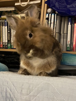 顔をくしくしするウサギ