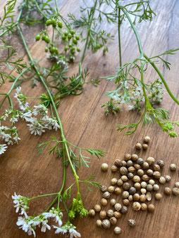 緑の実(写真左上)が茶色くなったら(右下)収穫時