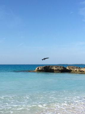 Pélican, Cayo Santa Maria, Cuba