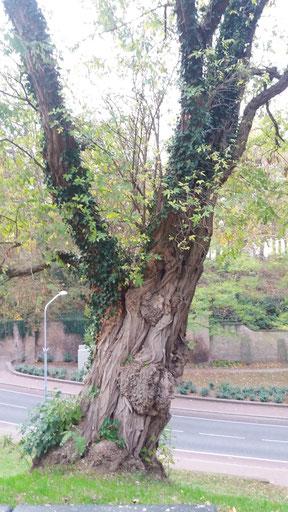 Nijmegen - acacia op de Sint-Geertruidsberg, erachter het Billenniummonument.