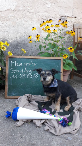 Lotti ist eine neunjährige Dackel-Yorkshire-Mix. Sie begleitet ihr Frauchen Lucia Köhler ein bis zweimal pro Woche zur Schule. Die Prüfung zum Schulhund hat sie im August 2019 erfolgreich abgelegt.