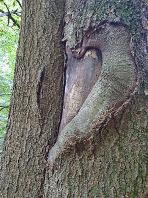 Herzform in Baumrinde