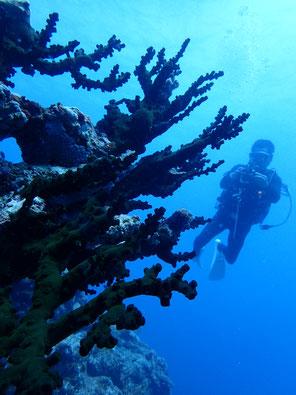石垣島でのんびりダイビング「石西礁湖北側リーフ」ヒートハートクラブ