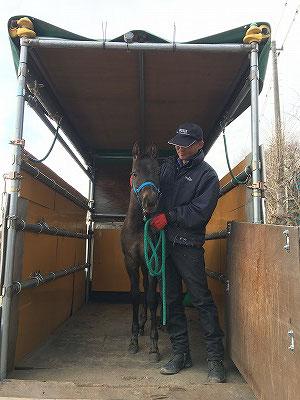子馬の馬運車教育