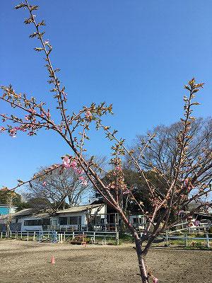 乗馬クラブの河津桜