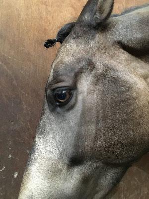 理性的な賢い馬の瞳