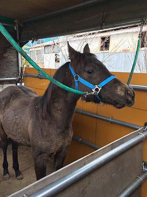 馬を馬運車に乗せる