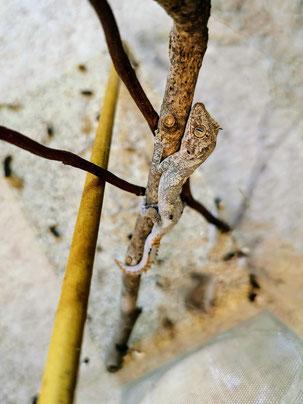 Strophurus ciliaris