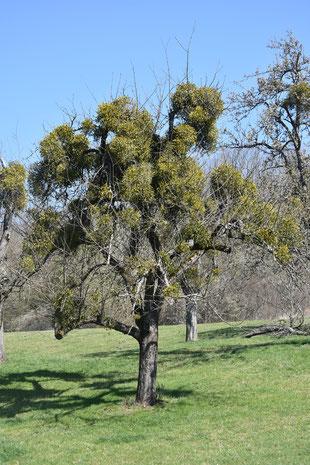 Ein Obstbaum, der von Misteln völlig überwuchert ist. Foto: NABU Metzingen / Heino Pauly