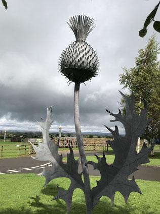 Nationalpflanze der Schotten, die Distel, Foto Kai Czechau