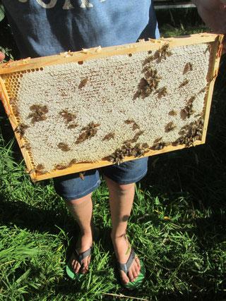 Die Honigwabe wird erst bei der Entnahme von Bienen befreit.