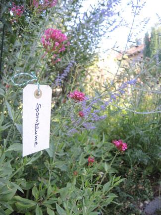 Sprossenblume, Nahaufnahme