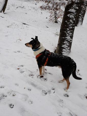 Blade steht auf einem Waldweg im Schnee und schaut nach links auf etwas, was nicht im Bild zu sehen ist.