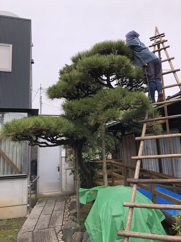 川崎市の個人邸クロマツの剪定
