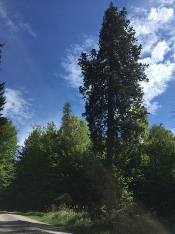 Mammutbaum im Schönbuch, nahe Breitenholz, Bild:  Anna Valeska Strugalla.