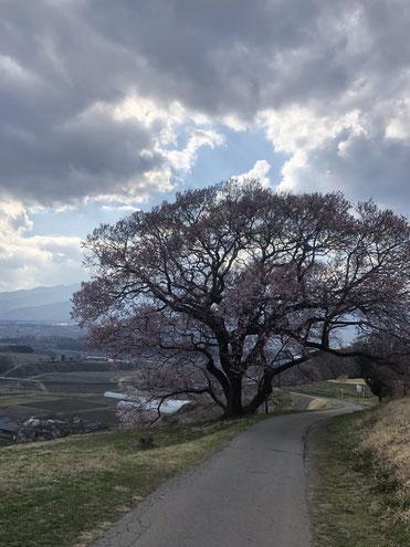 満開前の一本桜です。