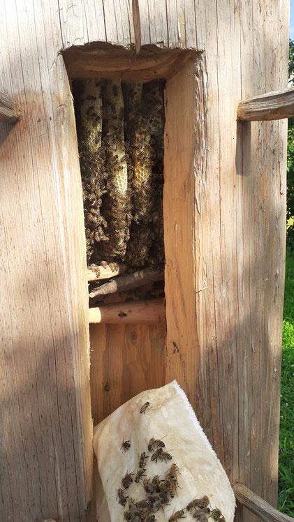Bienen im Zeidler