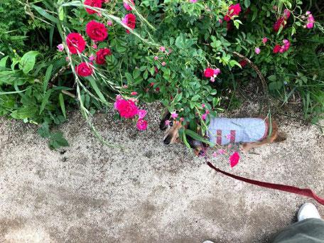 愛犬ドルチェと散歩に行く公園のバラ