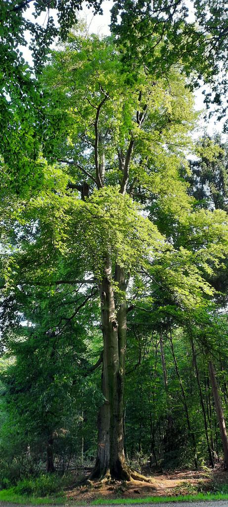 Naturdenkmal Dicke Buche im Dämmerwald
