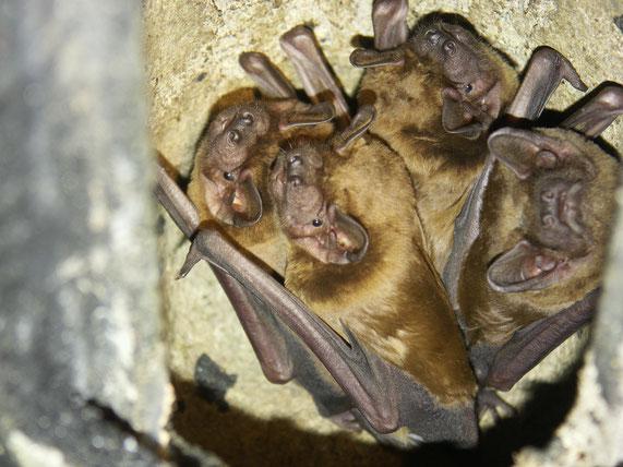 Große Abendsegler in einem Fledermauskasten - LBV-Bildarchiv Foto: Dr. Andreas Zahn