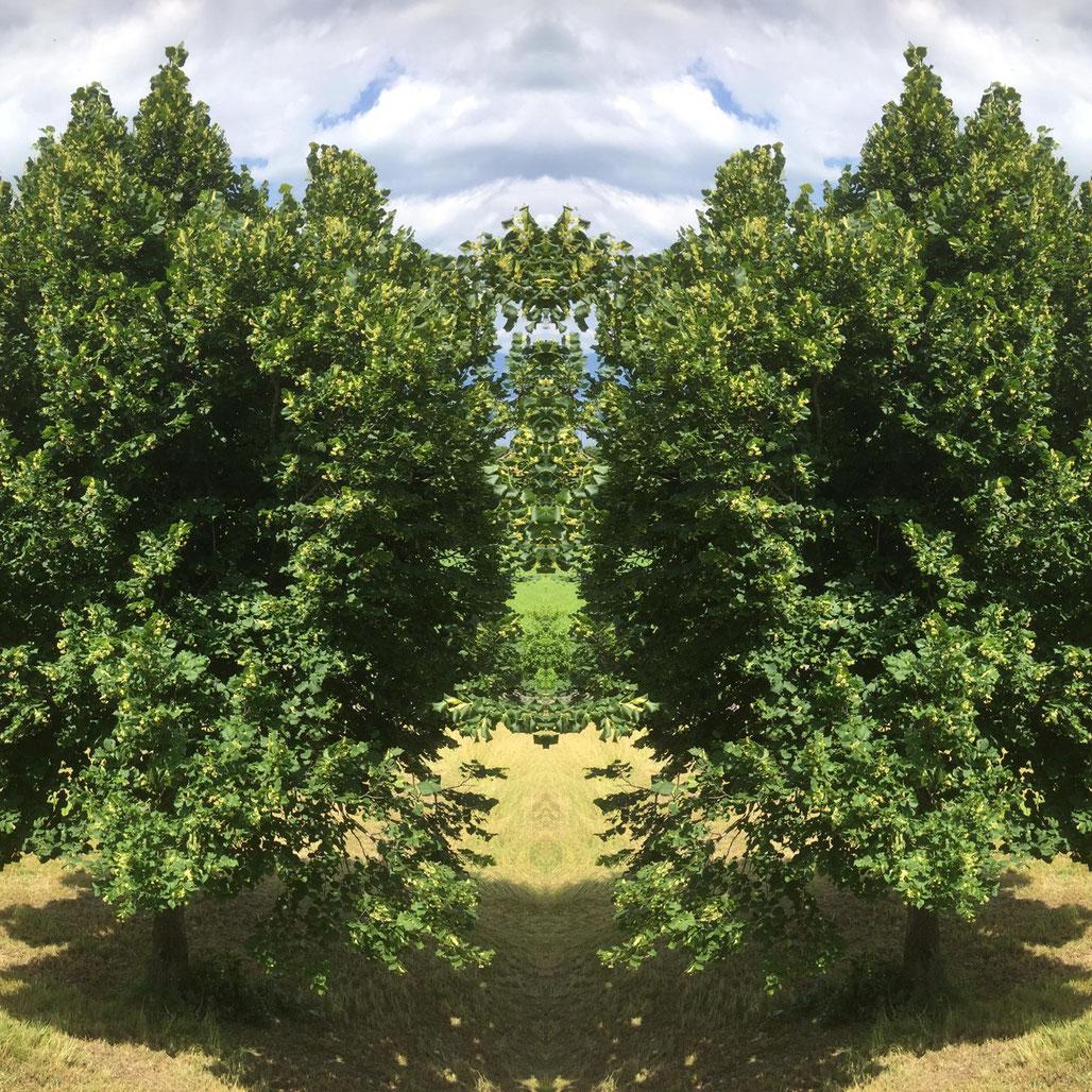 Lindenblütenbäume Ankommen im Jetzt Zuversicht Seelen Zauber Tuggen