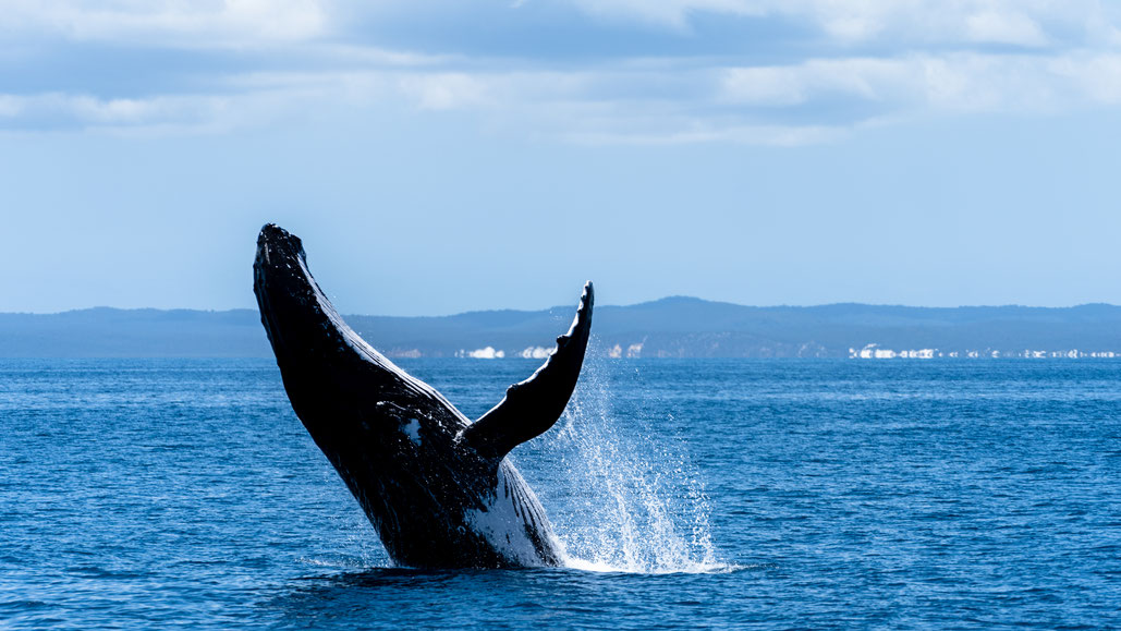 A humpback whale breaching in front of Fraser Island, Australia