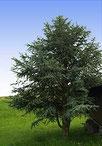Der Zürgelbaum