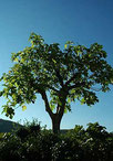 Der Feigenbaum