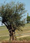 Der Ölbaum