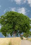 Der Nussbaum