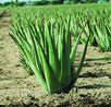 L'aloe vera une plante pharmacie