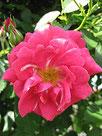 """Rose """"Gîte de France"""""""