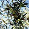 Mani Olivenöl - biologisches natives Olivenöl