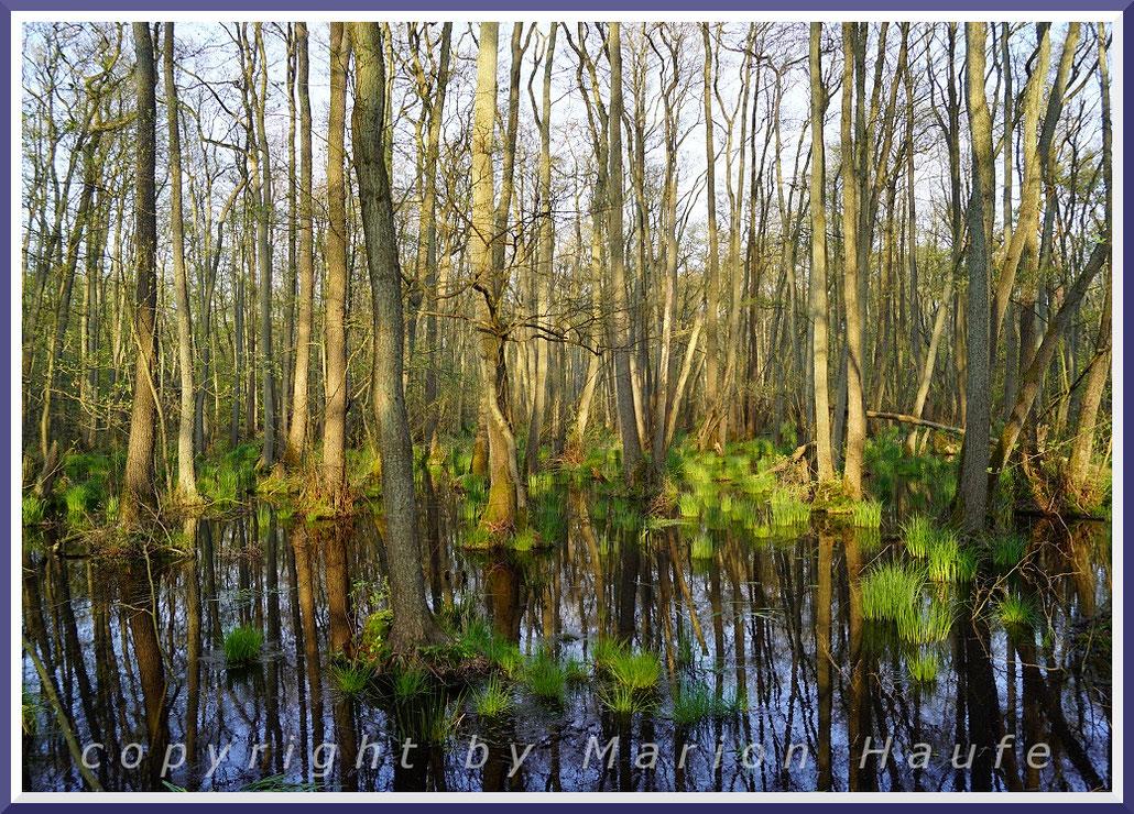 Erlenbruch im Darßwald am g-Gestell Ende April.