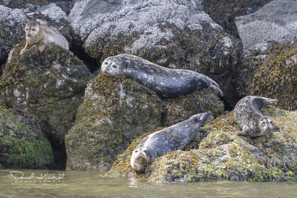 Seehunde, seal, Vancouver, Canada, www.danielkneubuehl.com, Photographer/Fotograf: Daniel Kneubühl