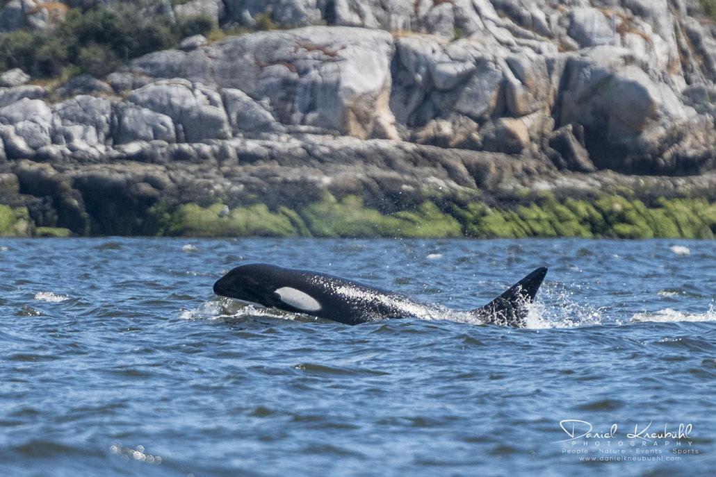 Schwertwal, Killerwal, Orka, Orca, Delfin, Vancouver, Canada, www.danielkneubuehl.com, Photographer/Fotograf: Daniel Kneubühl