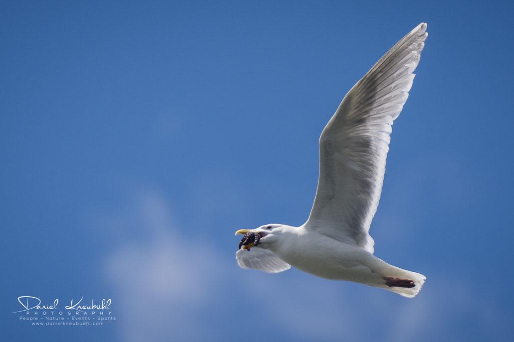 Heringmöwe, Seestern, herrring gull, sea star, Vancouver, Canada, www.danielkneubuehl.com, Photographer/Fotograf: Daniel Kneubühl