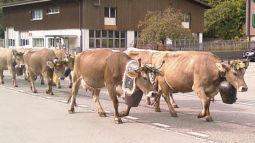 Alpabzug Kühe Klausenpass © Pässe.Info