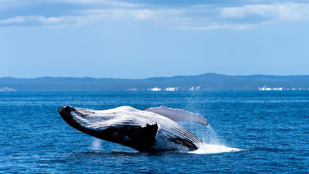 Humpback whale breaching at Fraser Island, Australia