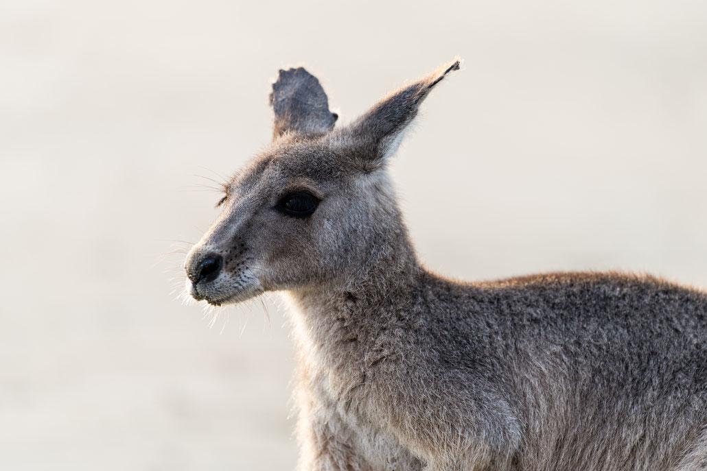Close up of a grey kangaroo at Young mal wallabies testing Cape Hillsborough beach, Queensland, Australia