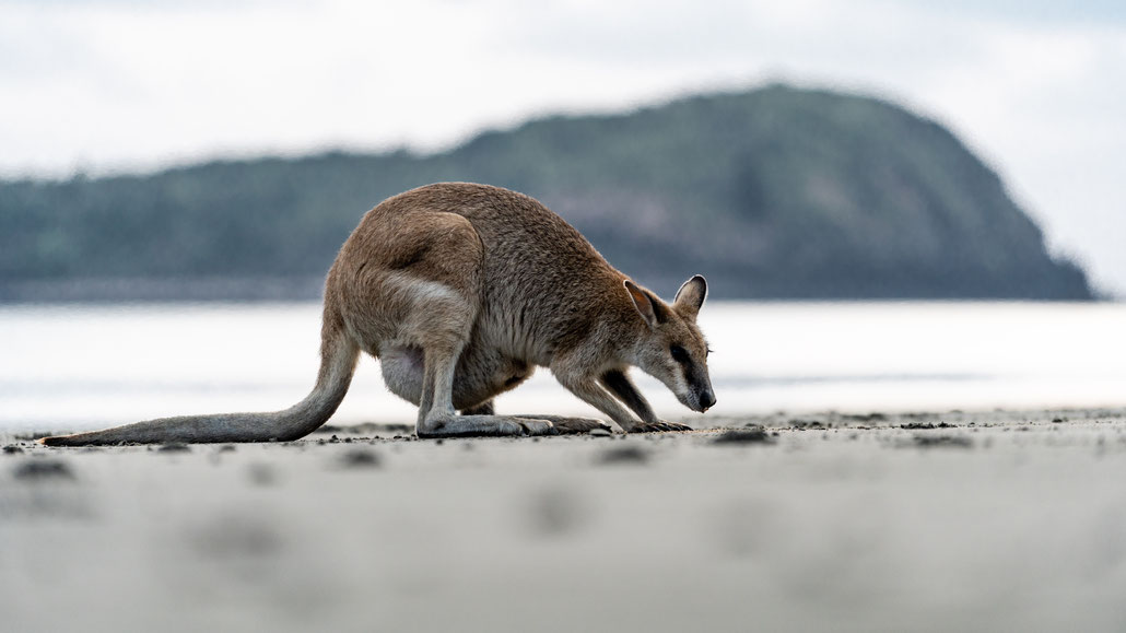 A wallaby foraging at Cape Hillsborough beach, Queensland, Australia, after sunrise