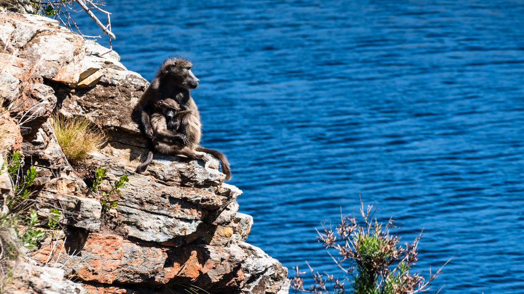 Baboon mother with its youngster sitting on top Palmiet River, Kogelberg Nature Reserve, South Africa