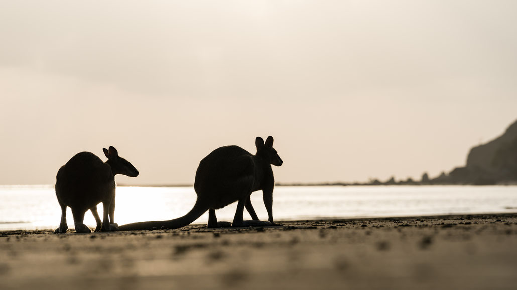 Silhouette of two wallabies at Cape Hillsborough beach, Queensland, Australia, during sunrise