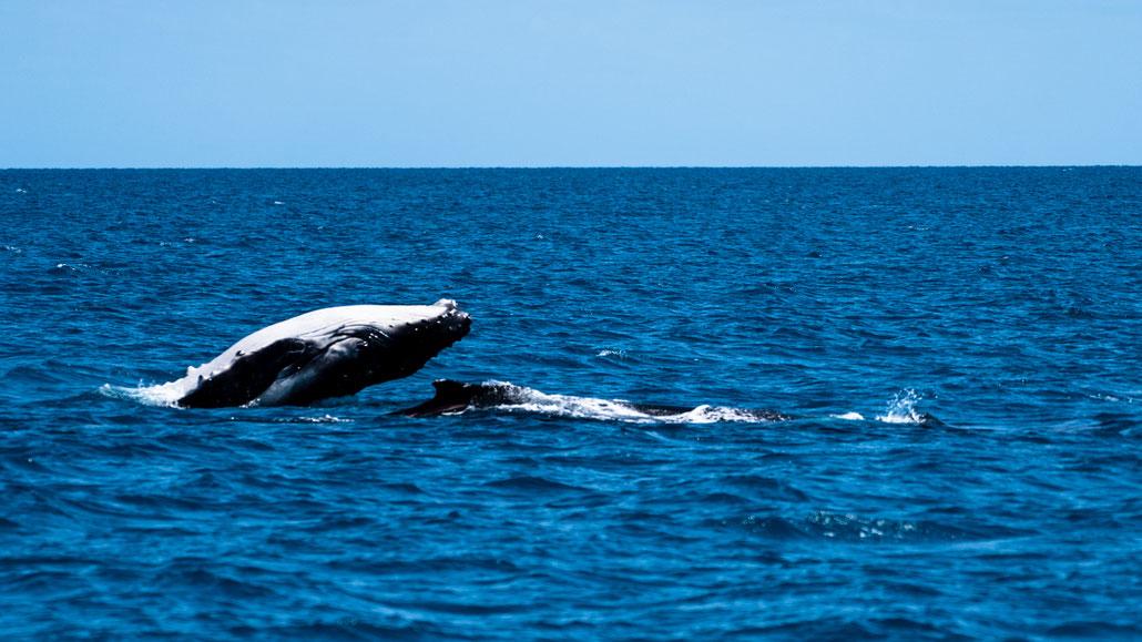 Breaching humpback whale calf at Fraser Island, Australia