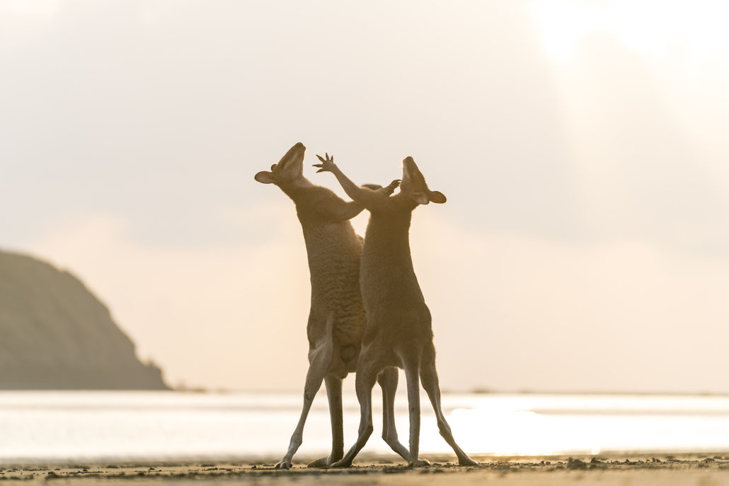 Two wallabies fighting at Cape Hillsborough beach, Queensland, Australia
