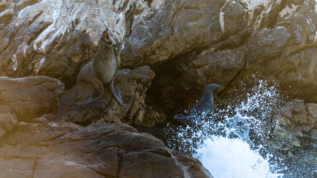 Seal roaring Seals laying at Rooi-Els rocky shore line, South Africa