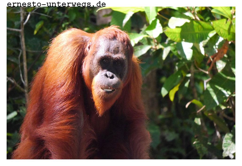 Wildlebende Orang-Utan-Dame am Sekonyer-Fluss (Kalimantan)