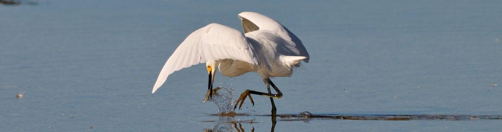 Fishing Egret; Sanibel Island; Florida